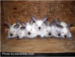 Кролики пород калифорнийская, серый серебристый,