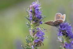 Essential oil of hyssop