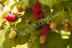 Саженцы ежевикомалины Логанберри (Loganberry)