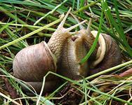 Fresh snail grape
