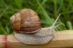 Snails grape