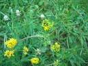 Люцерна семя (элита и 1 репродукция)