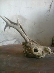Трофей череп дикой козы с рогами