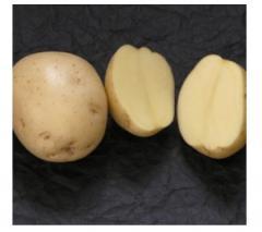 Картофель ранний Ривьера оптом от фермера
