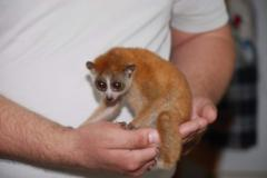 Big-eyed cuties, completely manual lemurs of house