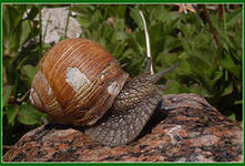 Attention to wholesalers: grape snail