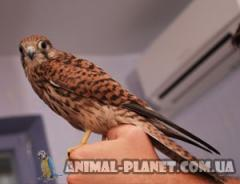 On sale baby birds of a falcon of Pustelgi. These