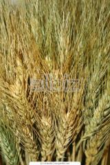 Wheat hybrid