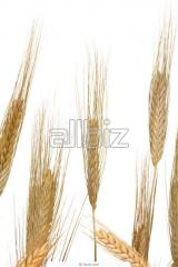 Wheat for sprouting