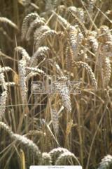 Пшеница за хранене
