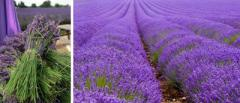 Essential oil of a lavender, coriander, wormwood,