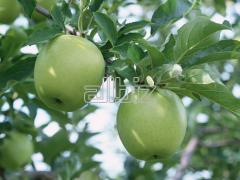 Яблоки сорт  Ред Йонопринс (Red Jonoprince)