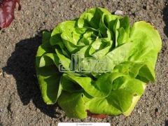 Салат-латук, салат оптом, от производителя, зелень