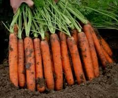 Carrots young