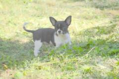 Chihuahua, nursery of KSU