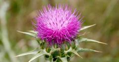 Oil of thistle (thistle oil)