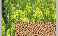 Mustard white for expor