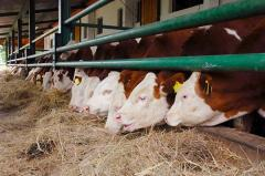 Meat of bovine animals