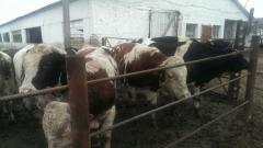 الماشية الحية