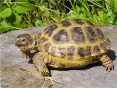 Среднеазиатские черепахи сухопутные (Agrionemys