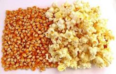 Grain for popcorn