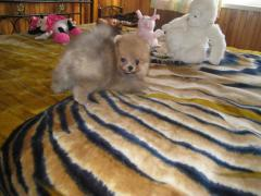 Puppies of a Pomeranian spitz-dog