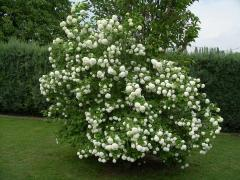 European cranberry-bush