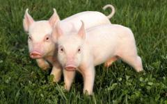 Bioadditives for pigs from 12 kg to 20 kg