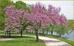 Plum purple Pissardii soliterny tree