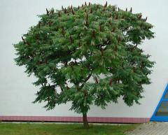 Оцтове дерево Сумах ф. кущове, дерево