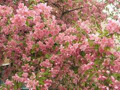 Яблоня Райская декоративные в сортах