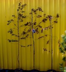 Birch povisly Purpurea Co 7,5 (160-180)