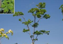 Клен платановидный Palmatifidium Со 20 (160-200Pa)