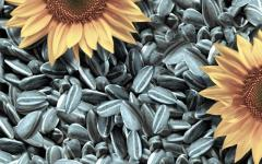 Seeds of confectionery sunflower, pumpkin seeds,