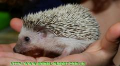 Dwarfish hedgehogs attract not only the size,