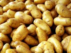 Картофель посадочный. В сетках по 20 кг