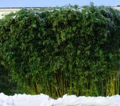 Saplings of a frost-resistant bamboo of