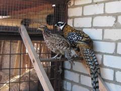 Pheasant royal