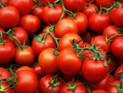 Tomatoes on industrial processing.