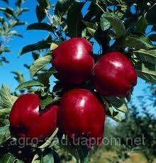 """Саженцы яблока сорт """"Айдаред"""""""