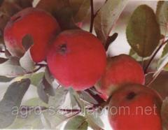 Саженцы яблока сорт