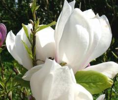 Alba superba magnolia saplings