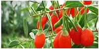 Saplings of berry of a godzha