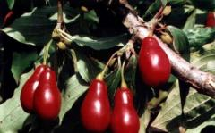 Cornel saplings high-quality