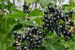 Blackcurrant saplings Anniversary Kopanya