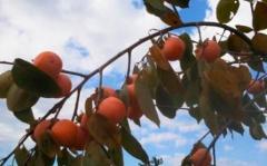 Persimmon saplings Russian