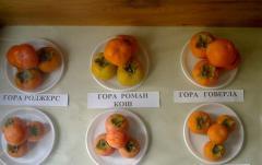 Persimmon saplings Nikitsky clare