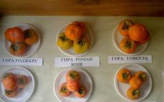 Persimmon saplings Mount Hoverla