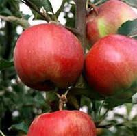 Apple-tree saplings Erli Quinn