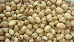 Fava beans for export
